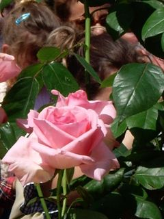 "La rose ""Ma Normandie"""
